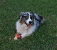 Miniature Australian Shepherd, 4yrs, Blue Merle